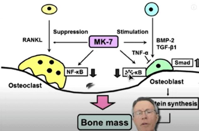 Vitamin K2 Affects Osteoclasts & Osteoblasts