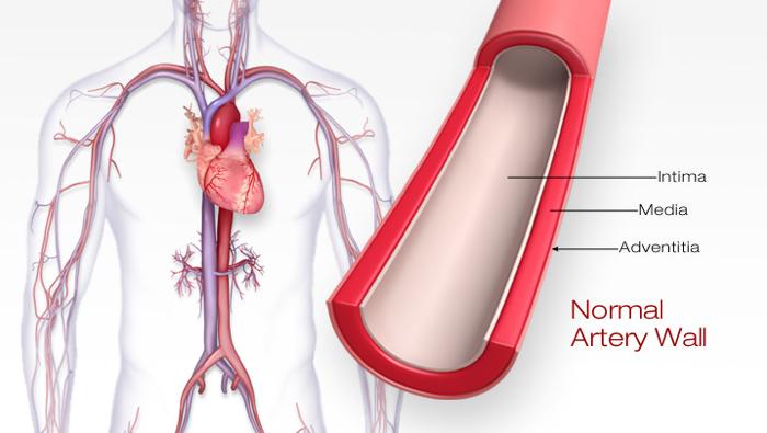 Layers of the Artery - Intima, Media, Adventitia