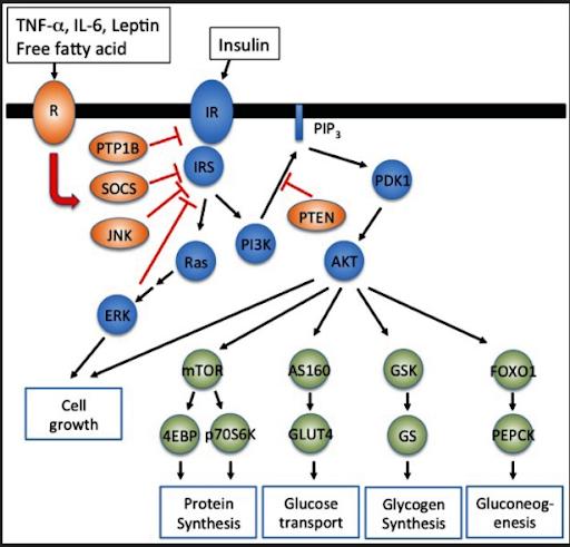 Insulin Resistance Diagram