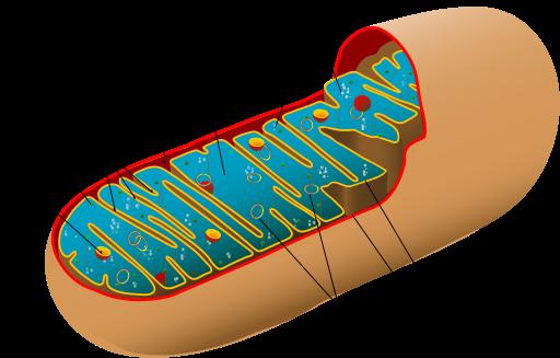 Mitochondrion Diagram